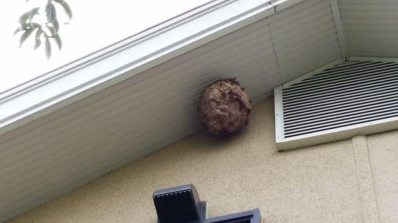 軒下 スズメバチの巣